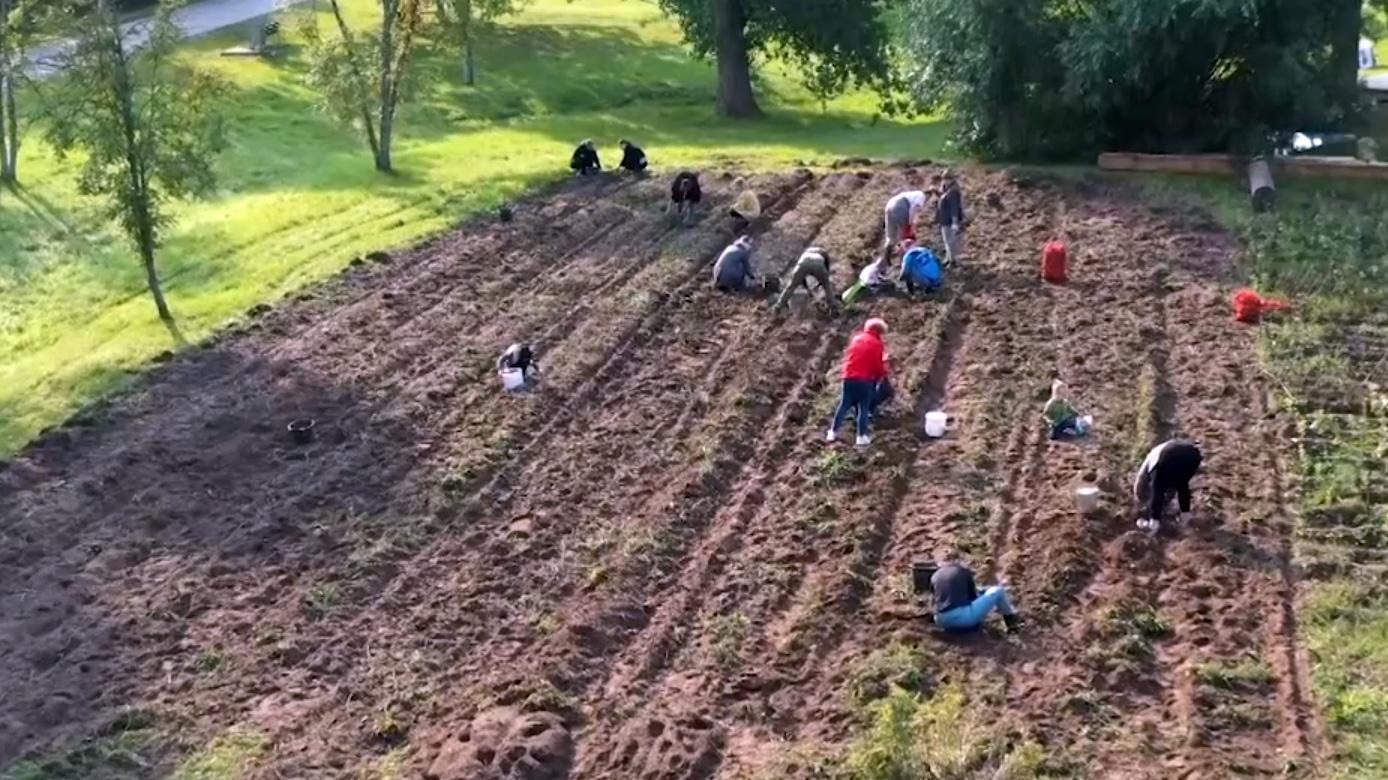 Kulturālo kartupeļu novākšanas svētki Kuldīgā