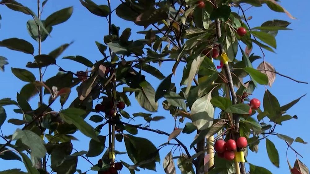 Talsu novadā stāda ābeles un laimīgos kokus