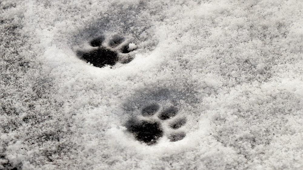 Kā atpazīt dzīvnieku pēdu nospiedumus sniegā?