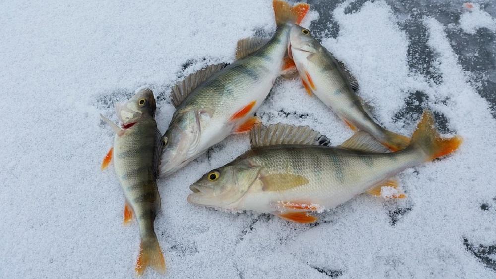 Ledus biezās kārtas dēļ daudzas zivis slāpst