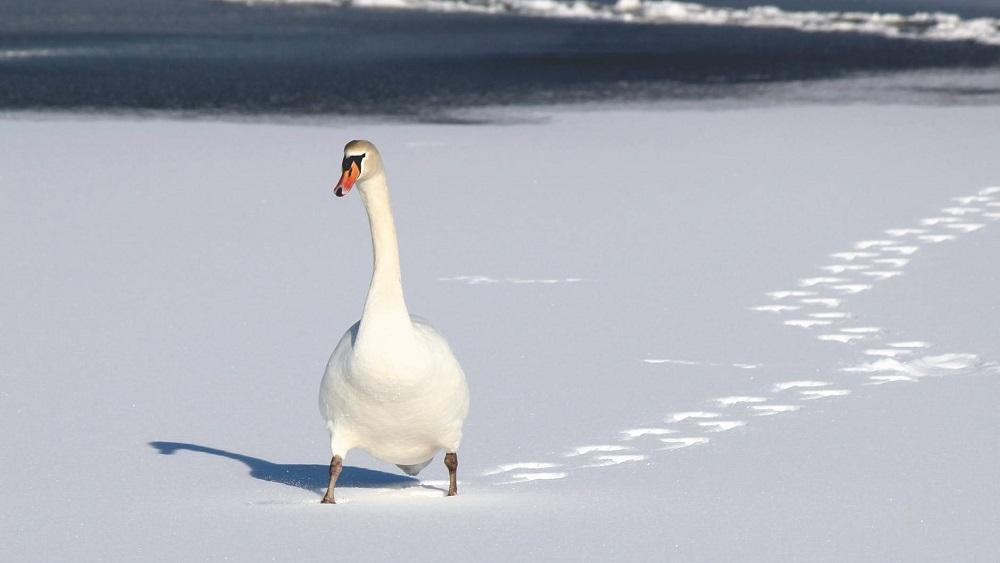 Gulbju barotavas var veicināt putnu gripas izplatību