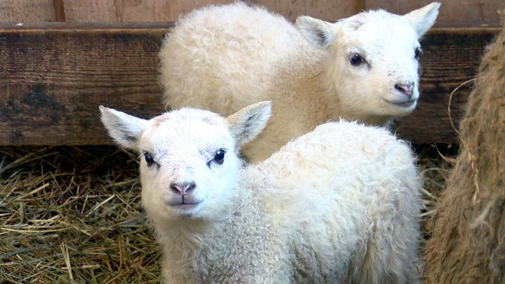 Ja vēlies sākt saimniekot laukos, vai perspektīva var būt aitkopība?