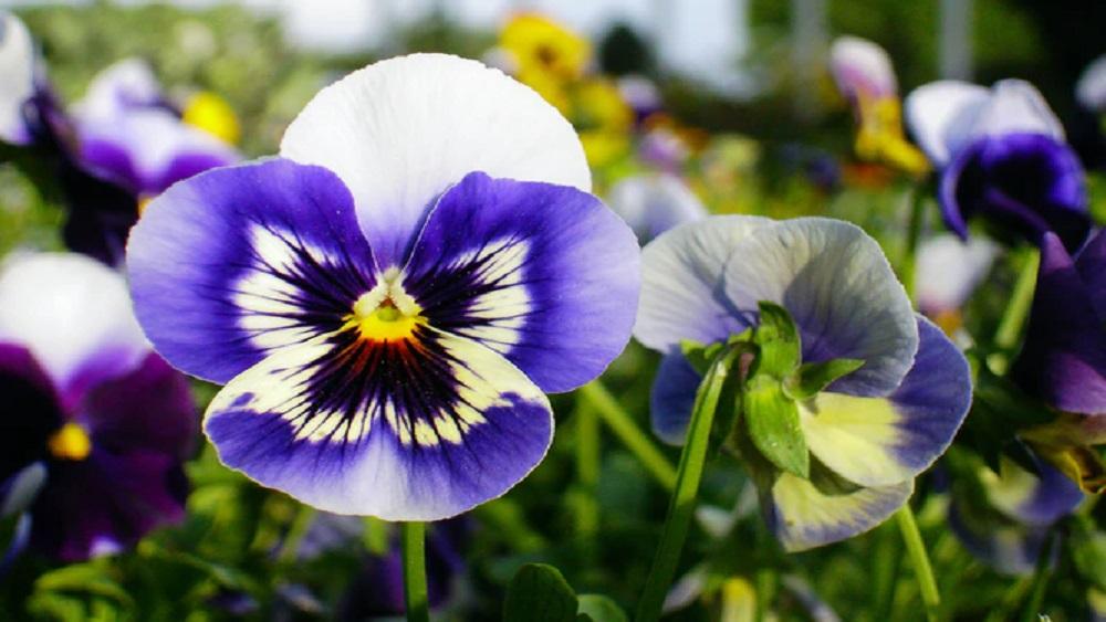Kā klājas ziedu un stādu audzētājiem Kuldīgas novadā?