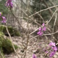 Šobrīd mežos zied viens no indīgākajiem augiem Latvijā