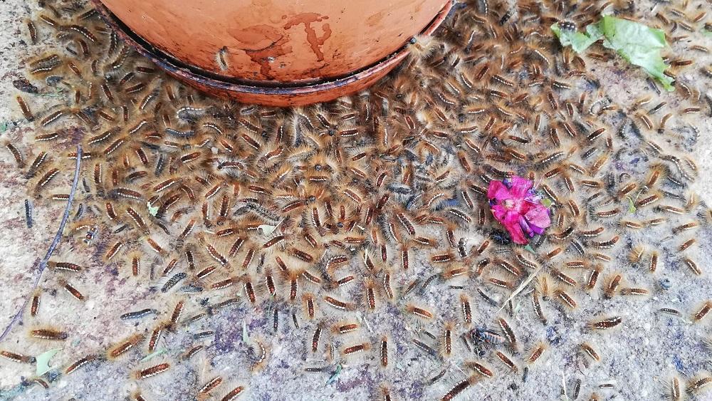 Latvijā pirmoreiz savairojusies cilvēka veselībai kaitīgā zeltvēdera mūķene