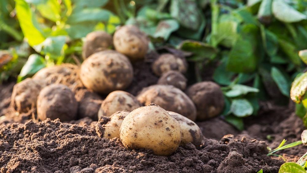 Samazinās kartupeļu stādījumu platības