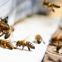 """""""BeeKing"""" -  Latvijā izstrādāta digitālā pierakstu  un darbu plānošanas aplikācija biškopjiem"""