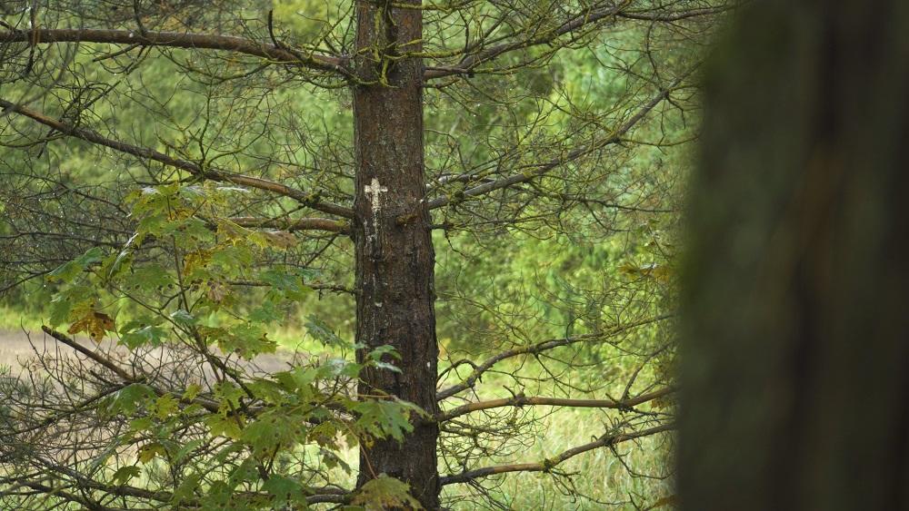 Sena bēru tradīcija Vidzemē - Latvijas krusta koki